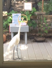 Great Egret strolling through PRWC