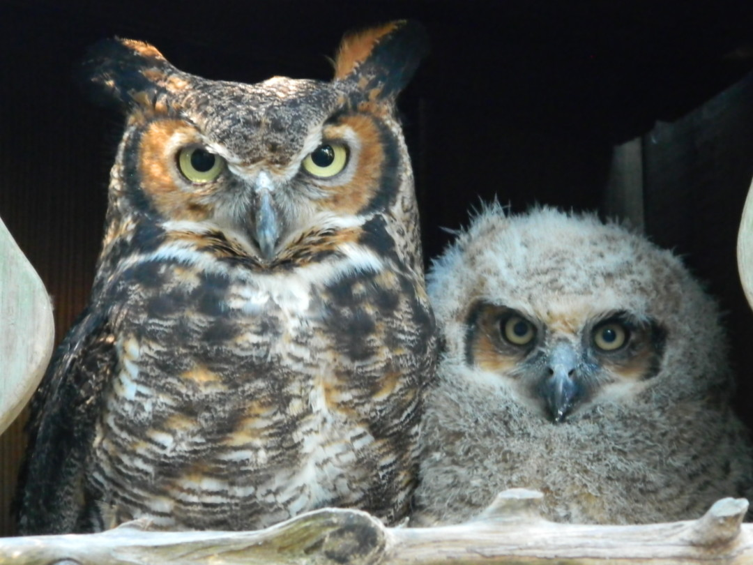 120 Best Happy Birthday Wishes for Friend - Awesoroo Great horned owl babies photos