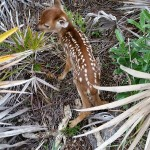 The fawn at release waiting for mama to return