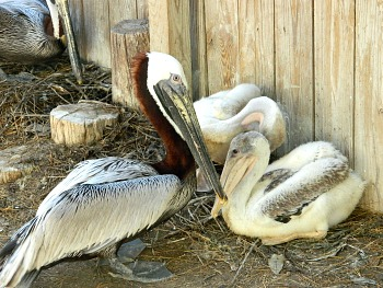 Pelican Momma and baby 2015