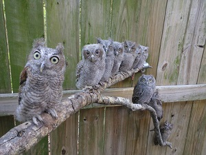 Screech owls in a row