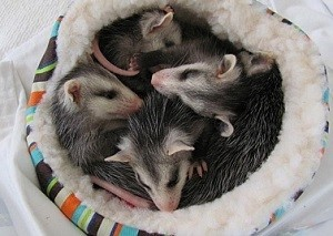 A passel of baby opossums