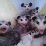 Juvenile Virginia opossums