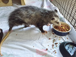 Tripod opossum dances into our hearts