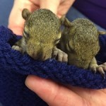 Eastern Grey Squirrels four weeks old