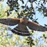 A red-shouldered hawk flies away on release from PRWC