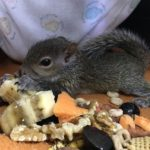 Baby squirrel weaning