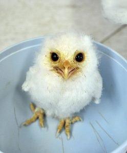 Ambassador Luna - Eastern Screech Owl