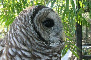 Ambassador Orion - Barred Owl