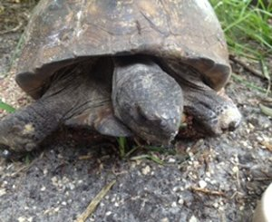 Our Reptile Residents Legolas the Gopher Tortoise