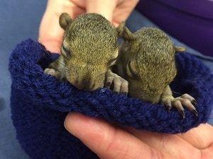 Eastern Grey Squirrels four weeks old