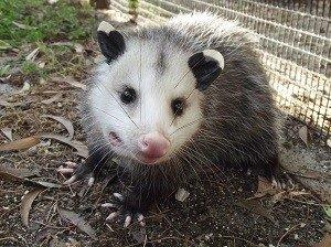 I Found an Opossum Opossum Ready for Release