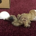 I Found a Baby Bird Mourning Dove Just Hatching