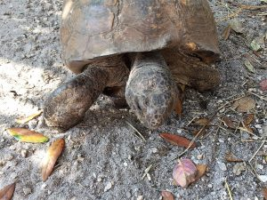 Legolas the Gopher Tortoise