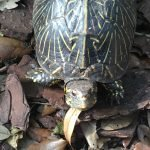 Our Reptile Residents Major the Box Turtle