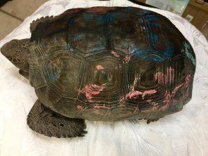 Please do not paint Gopher Tortoises