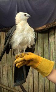 Swallow tailed-kite on glove