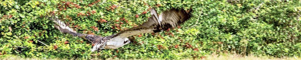 The osprey flies away
