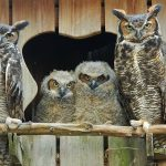 PRWC's resident great horned owls foster displaced youngsters.