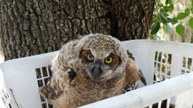 A young great horned owl gets returned to his tree in a make-shift nest basket.