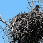 Bald eagle nest, photo courtesty of USFWS