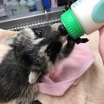 Juvenile raccoon takes a bottle