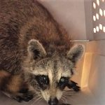 Raccoon after can removed