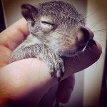 Sleepy baby squirrel